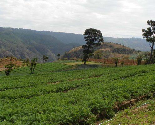 Guatemala Herbal Medicine