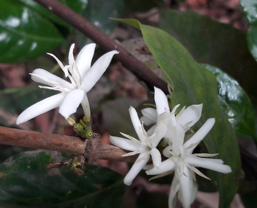 Guatemalan Coffee Bean Flower